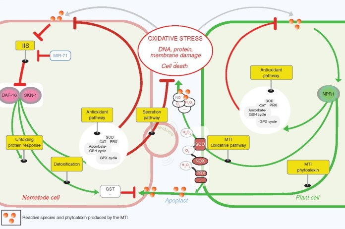 How do plant-parasitic nematodes alleviate the stress of an apoplast 'on fire'?