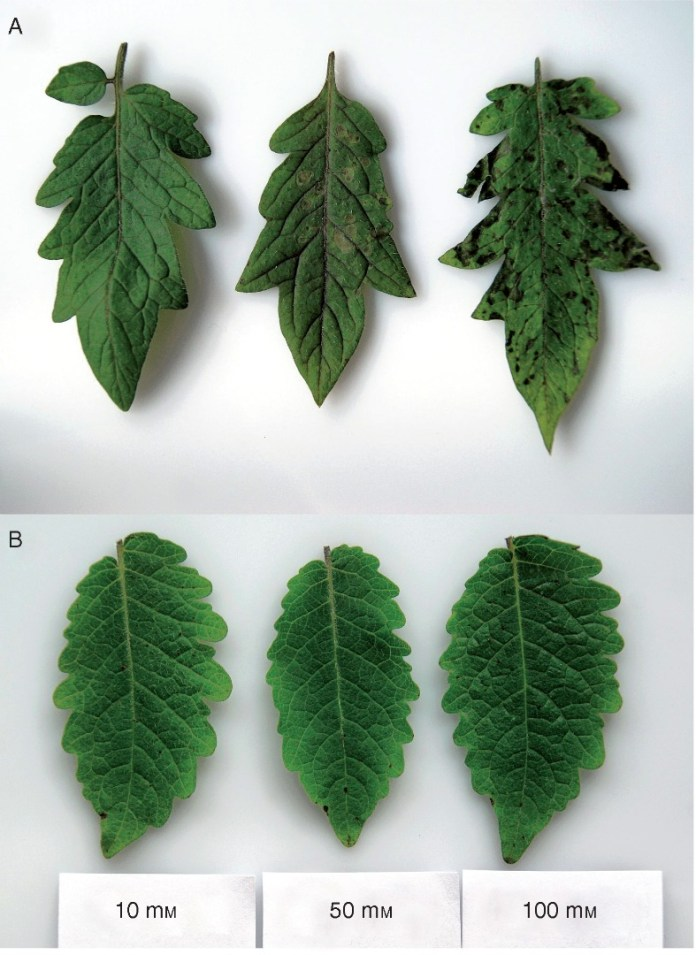 Necrotic symptoms triggered by BABA application to tomato leaves.