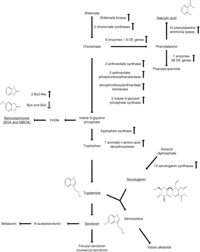 Molecular inference for induction of phenylalanine, tryptamine and tyrosine pathways that lead to the production of defence-associated hormones and metabolites in wheat following F. pseudograminearum infection in wheat