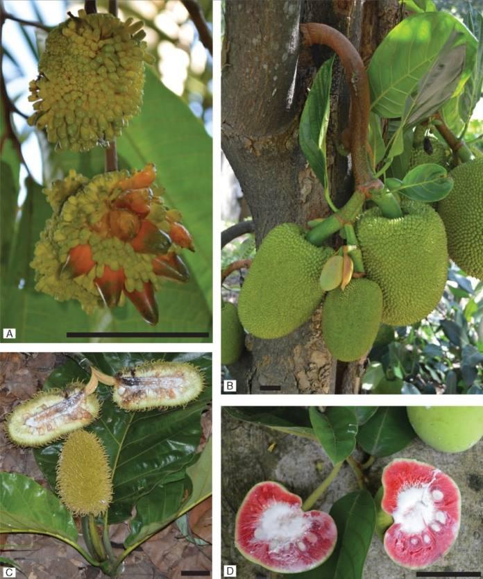 Representative species from Artocarpus subgenera.