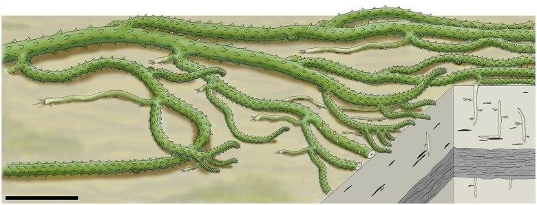 Whole-plant reconstruction of Sengelia radicans.