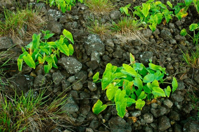 A rock mulch garden on Rapa Nui with taro (Colocasia esculenta) growing.