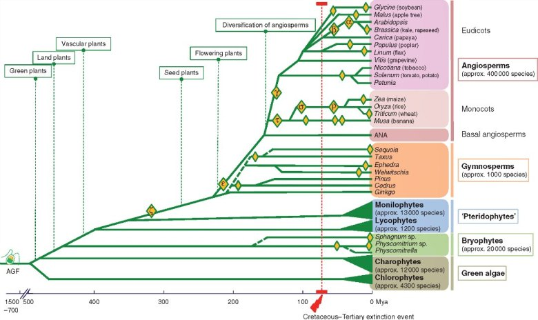 Simplified phylogeny of the green plant lineage focusing on the occurrence of WGD (whole-genome duplication) events