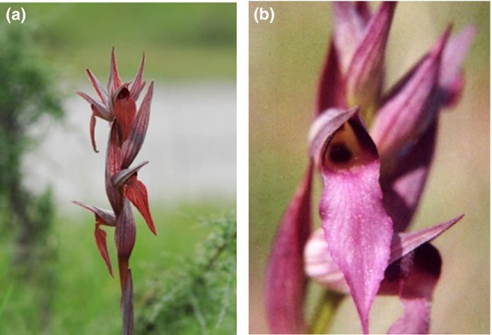 Photographs of Serapias vomeracea (a) and Serapias lingua (b)