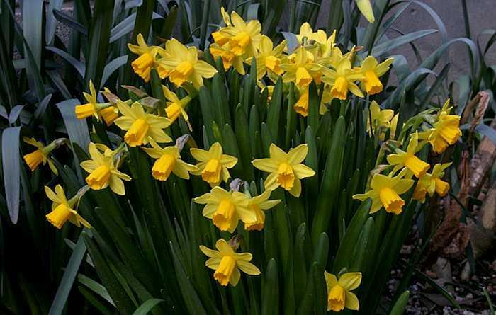 https://i1.wp.com/botanyboy.org/wp-content/uploads/NarcissusTeteCLMP.jpg