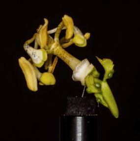 Passiflora incarnata dissection part copyright Ben Montgomery
