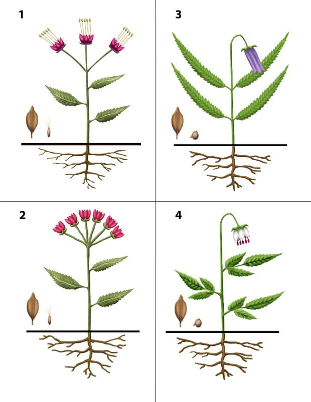 Dendrogrammaceae 1-4
