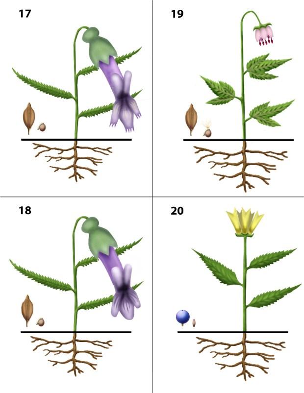 Dendrogrammaceae 17-20