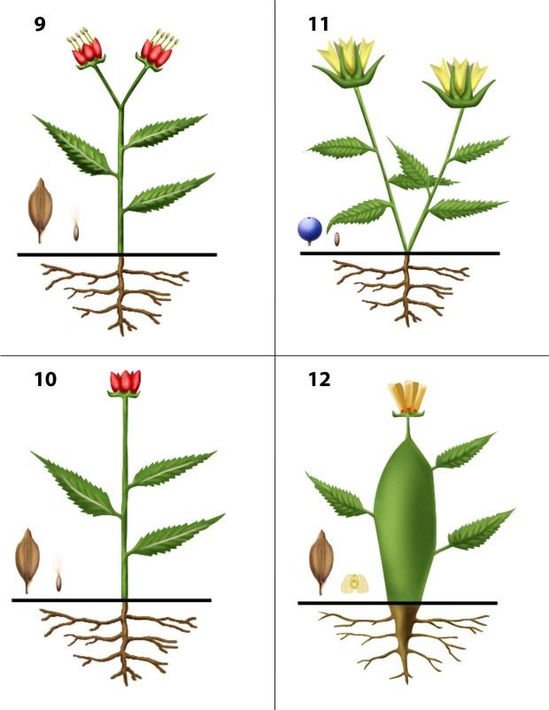 Dendrogrammaceae 9-12