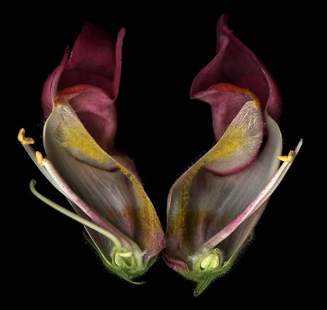 Dissected flower Antirrhinum majus MC