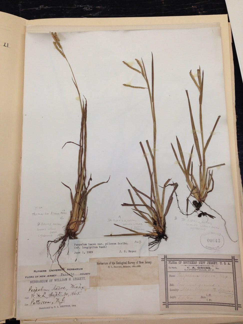 Historical herbarium specimen of Paspalum from Chrysler Herbarium, Rutgers University