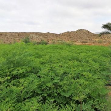 Plantación de Moringa orgánica en Almería (España)