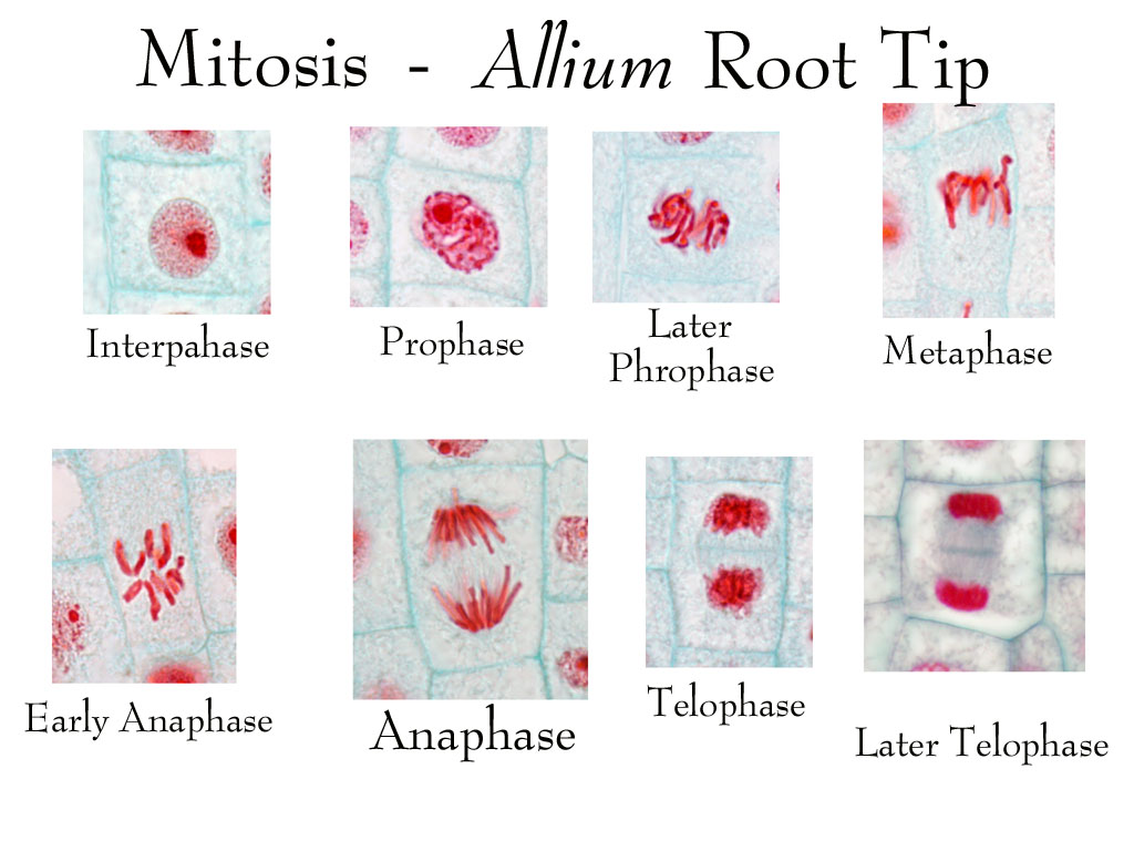 Biology Pictures Mitosis In A Plant Root Cell