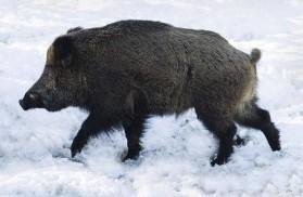 porc mistret iarna