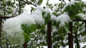 copaci afectati de zapada- botosani