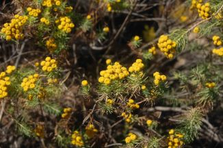 Phymaspermum athanasiodes, Asteraceae in Mamabolo Mountain Bushveld in the savanna. © Pat Lennox
