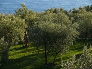 Origine e storia delle Olive Taggiasche