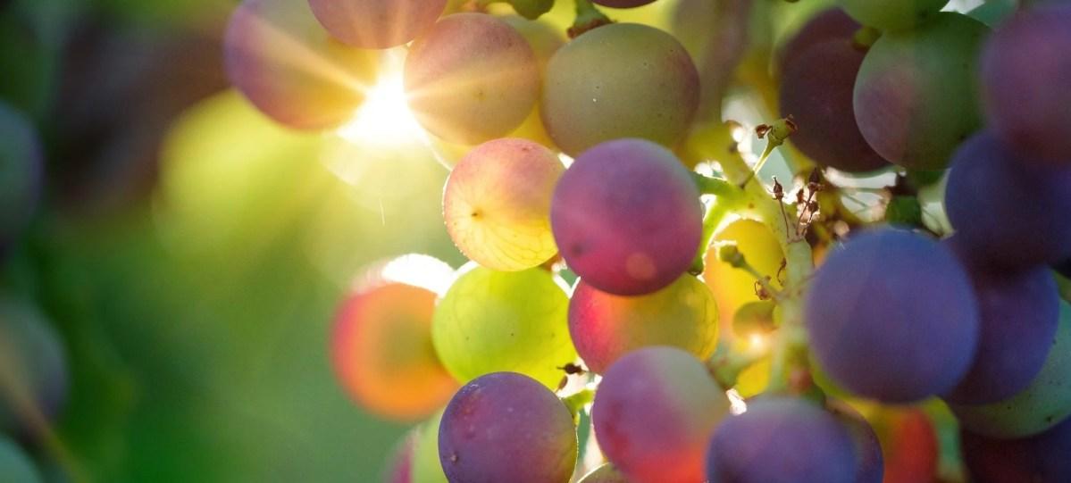 Kriminelle Ader: Traubenklau während der Weinlese