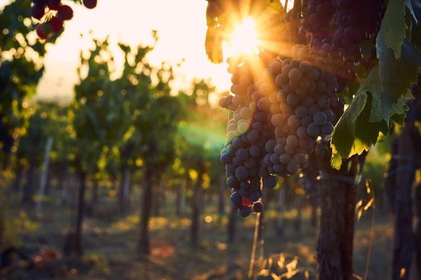 Rote Weintrauben die an einem Weinstock hängen, im Sonnenuntergang