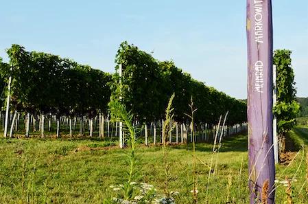 Ein Blick in den Weingarten im Carnuntum