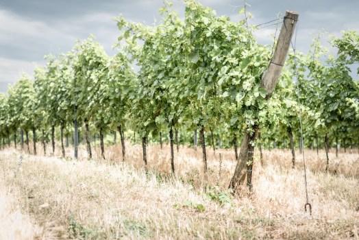 Eine Rebzeile vom Weingut Edelmann im österreichischen Carnuntum