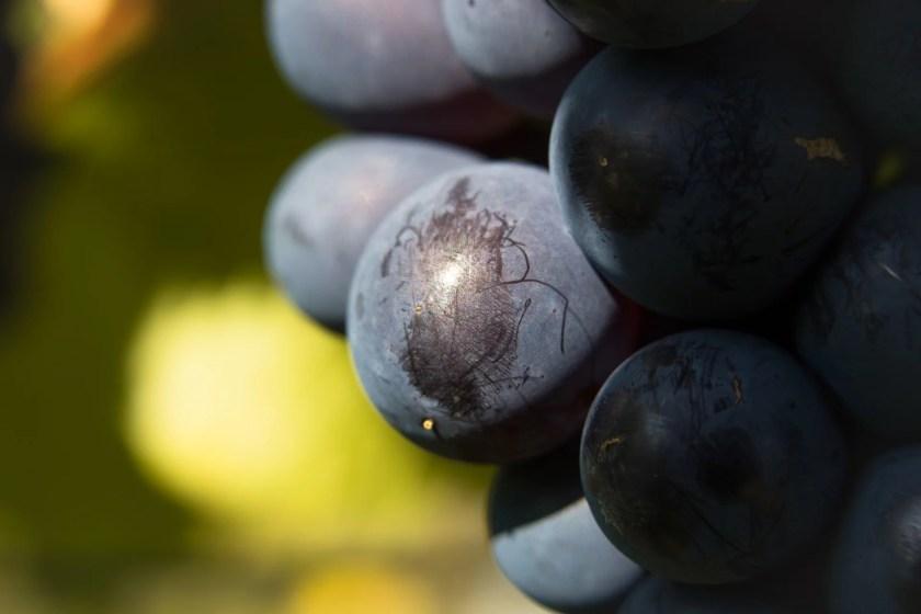 Rote Weintrauben in einer Nahaufnahme