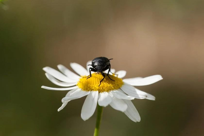 Käfer auf einem Gänseblümchen in Nahaufnahme.