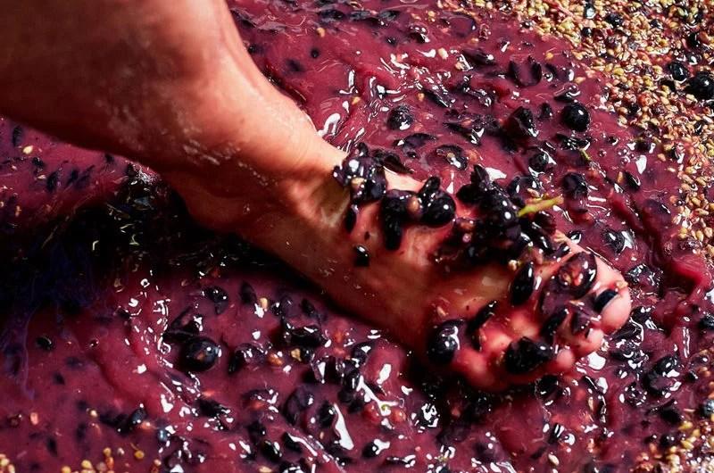 Rote Trauben, die mit den Füßen gestampft werden.