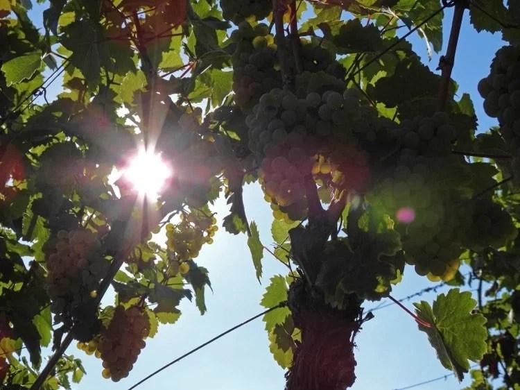 Riesling-Trauben am Rebstock im Sonnenlicht