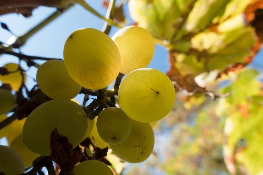 Reife weiße Weintrauben an einem Rebstock