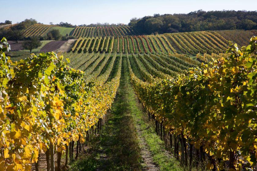 Rebfläche des Weinguts Prieler im Burgenland