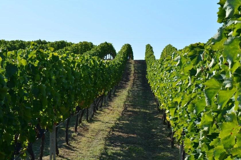 Weinreben in Naoussa - griechischer Wein