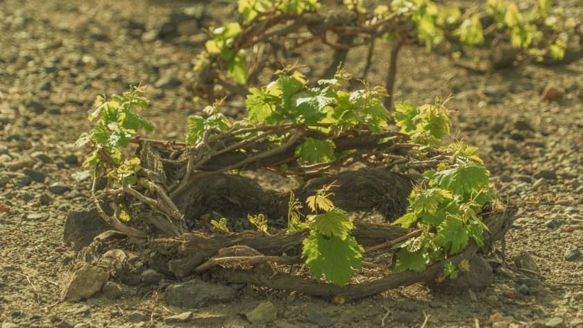 Am Boden liegende Rebe, die zu einem Korb geflochten wurde auf der Insel Santorini