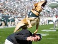 Zeke the Wonder Dog leaps off trainer Jim Foley's back Saturday at Spartan Stadium. The Spartans went on to defeat the Illinois Fighting Illini, 26-6, in their Homecoming game. Matt Radick/The State News