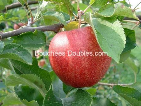 Pomme sur un arbre en gros plan