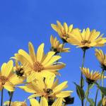 Fleurs de topinambours | BouffeTIME!