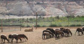 sheep and Durfey