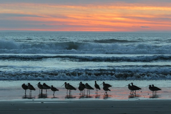 Sand Pipers at Sunset Pismo Beach
