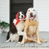 babushka dogs
