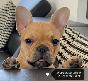 pippa bouledogue français fauve rouge