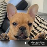 Pippa bouledogue français lof fauve rouge