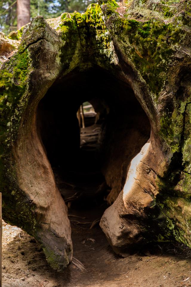 Sequoia-National-Park-Tree-Walk-Through