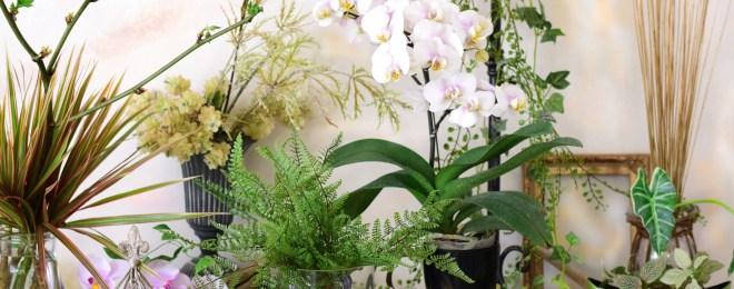 蘭 ファレノ 胡蝶蘭 ファレノシプス