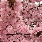 桜咲く(^^♪