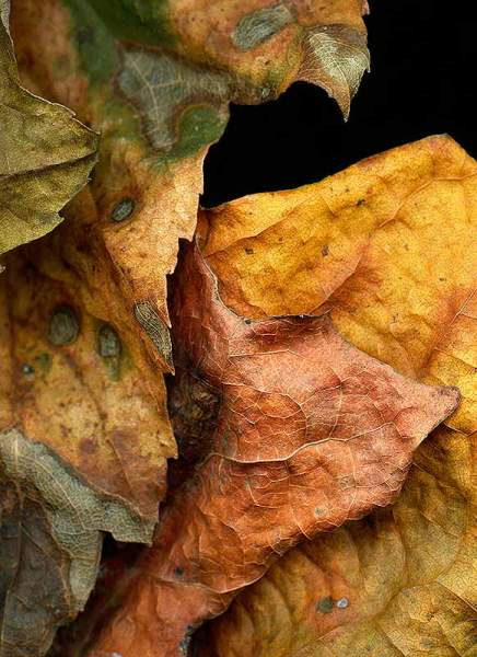 Leaves after Degas