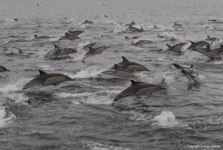 Common Dolphin at Seal Island