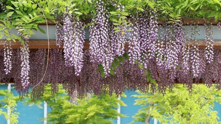 【地震予知】芥川龍之介が季節外れの藤の花を見て関東大震災を予知していた!?