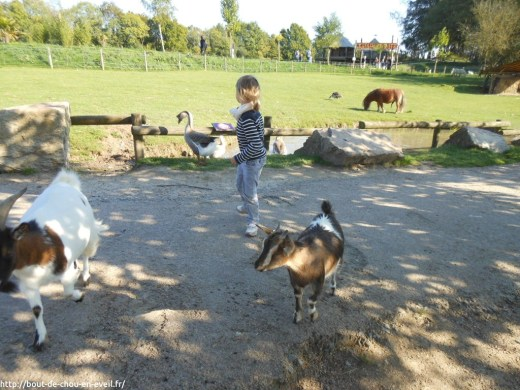 Dans l'enclos des chèvres