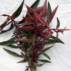 Ludwigia Peruensis