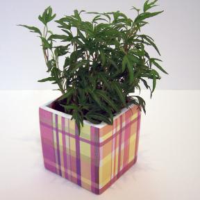 Hedera Vert - Lierre